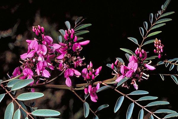 flores de indigofera
